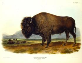 American Bison or Buffalo