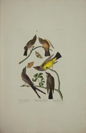 Arkansaw Flycatcher ; Swallow-tailed Flycatcher ; Say's Flycatcher