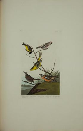 Arkansaw Liskin; Mealy Red-poll; Louisiana Tanager; Townsend's Finch; Buff-breasted Finch