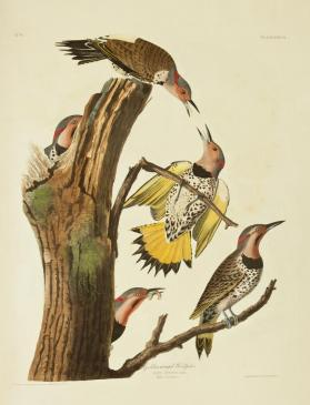 Golden-winged Woodpecker