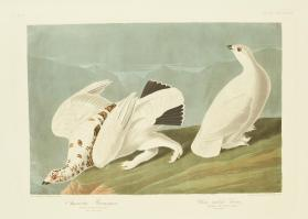 American Ptarmigan; White-tailed Grous