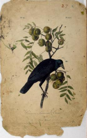 Common American Crow