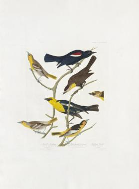 Nuttall's Starling, Yellow-headed Troopial, Bullock's Oriole